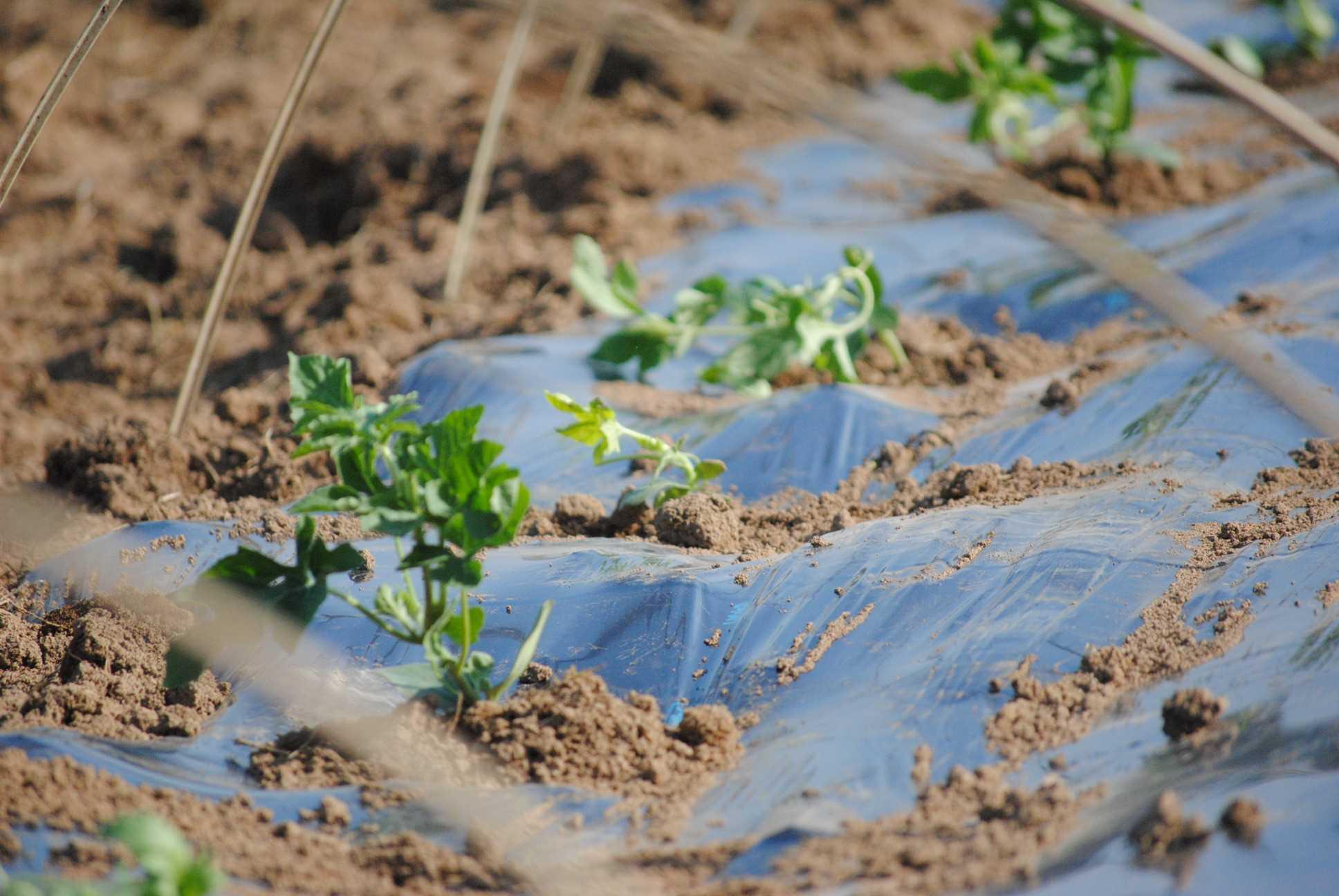 スイカの栽培方法を見学!7月末には甘いスイカをお届けします。