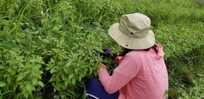 ホーリーバジル農園にて摘芯(ピンチ)体験しませんか?